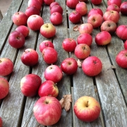 apple harvest on a table