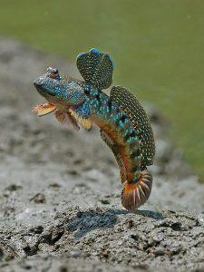 a mudskipper skipping